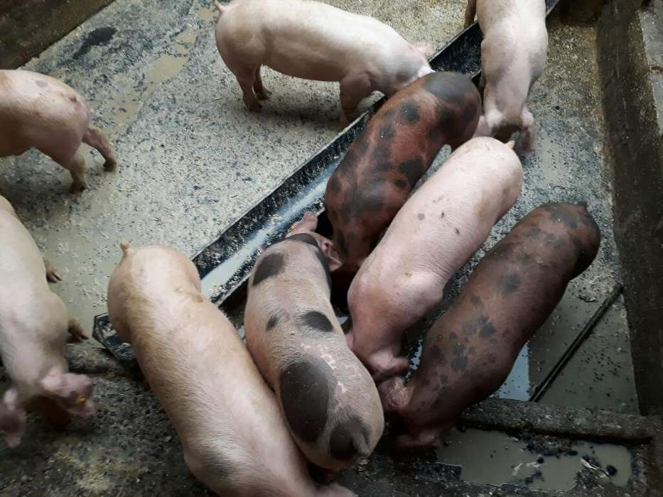 Cerdos a Precio de Feria 0.95lb Peso Viv