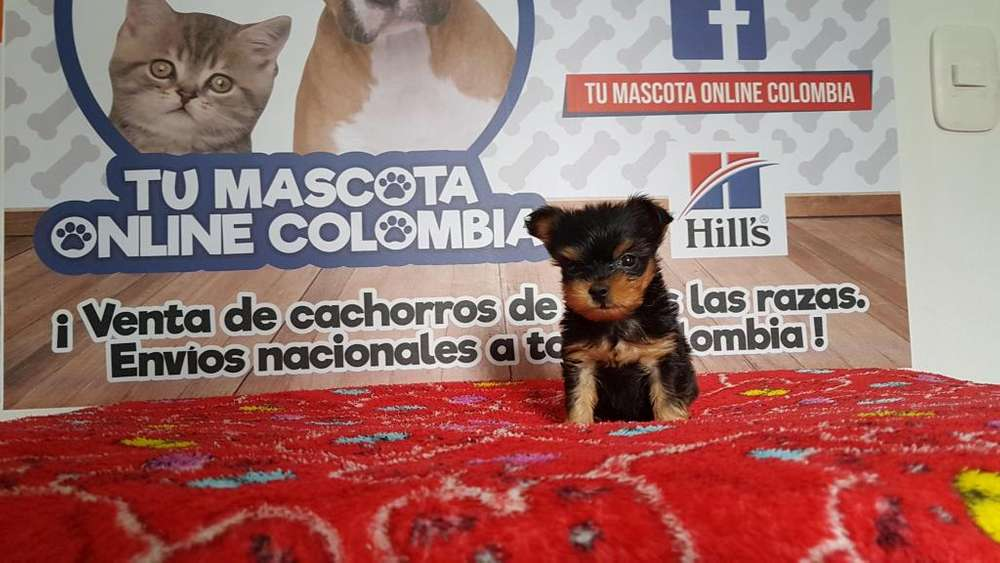 Mascotica Yorkshire <strong>terrier</strong> Tacita cachorro