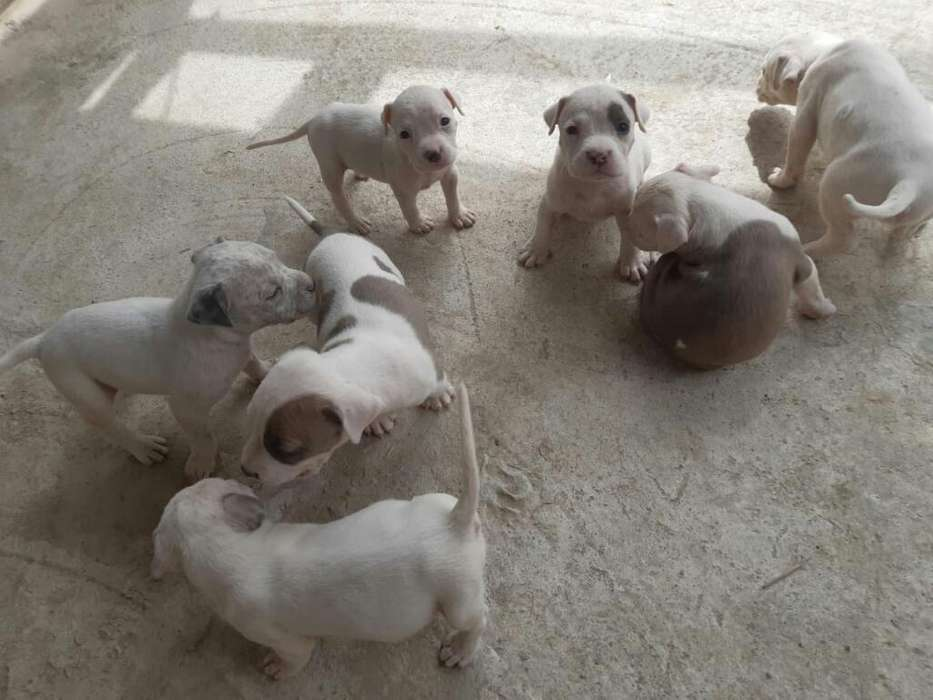 Vendo <strong>perros</strong> Pitbull