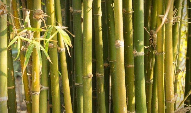 bambu argemiro duque