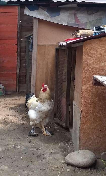 <strong>pollos</strong> Bhramas