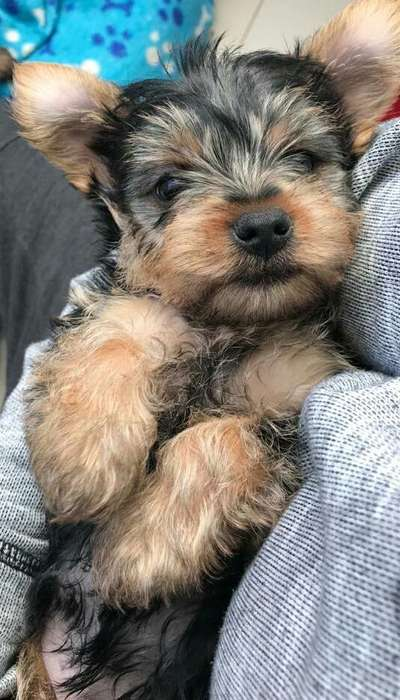 Lindos Cachorros Yorkshire Terrier
