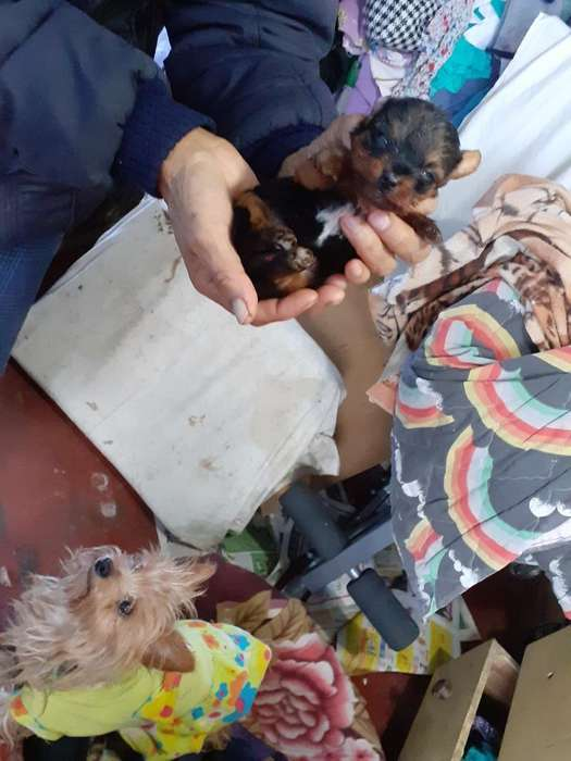 Simpatics Cachorrs Yorkshire Terrier Toy