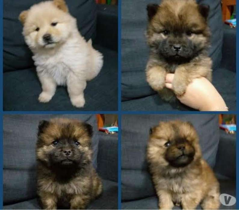 Chow Chow <strong>cachorro</strong>s