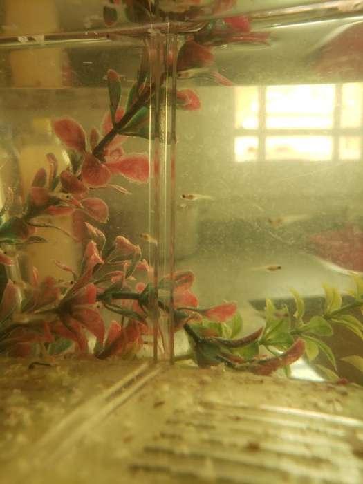 <strong>peces</strong> Guppys con 3 Dias