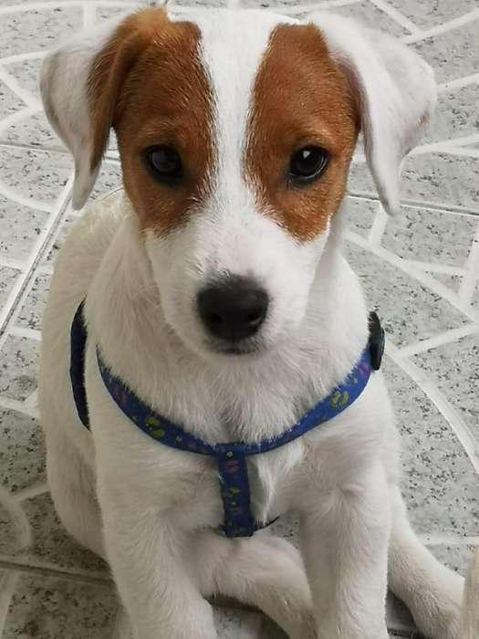 Jack Rusell Terrier Patas Cortas