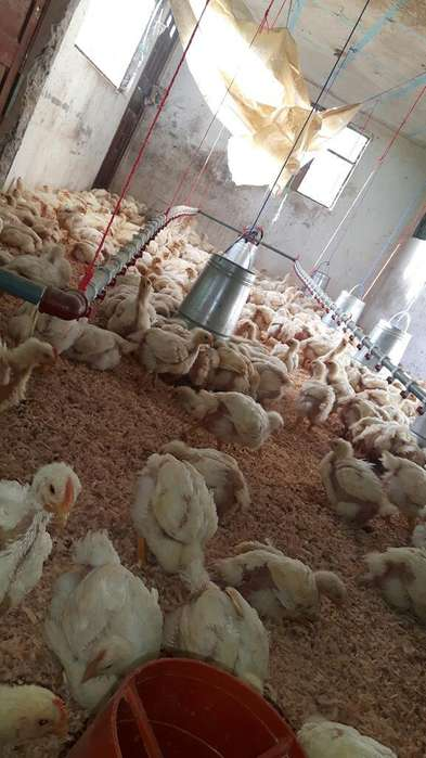 Vendo <strong>pollos</strong> de 5 Semanas Al por Mayor