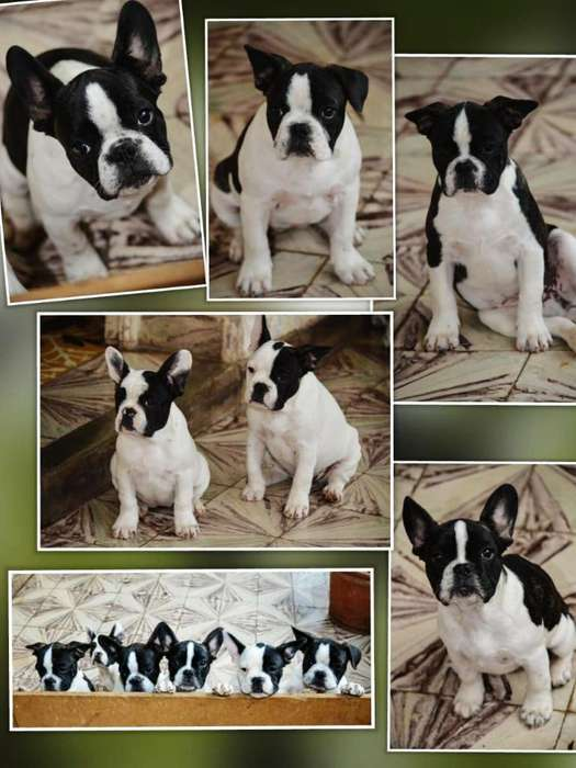 Hembritas Bulldog Frances