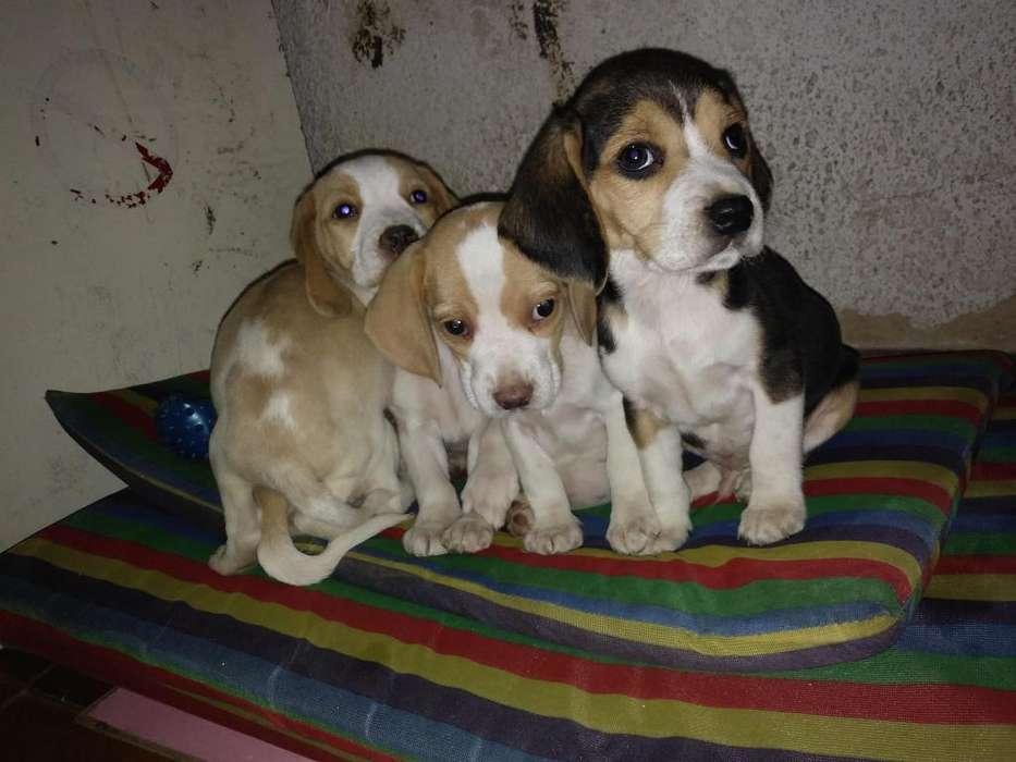 Hermosos <strong>beagle</strong> limon y tricolor raza pura 3112182036