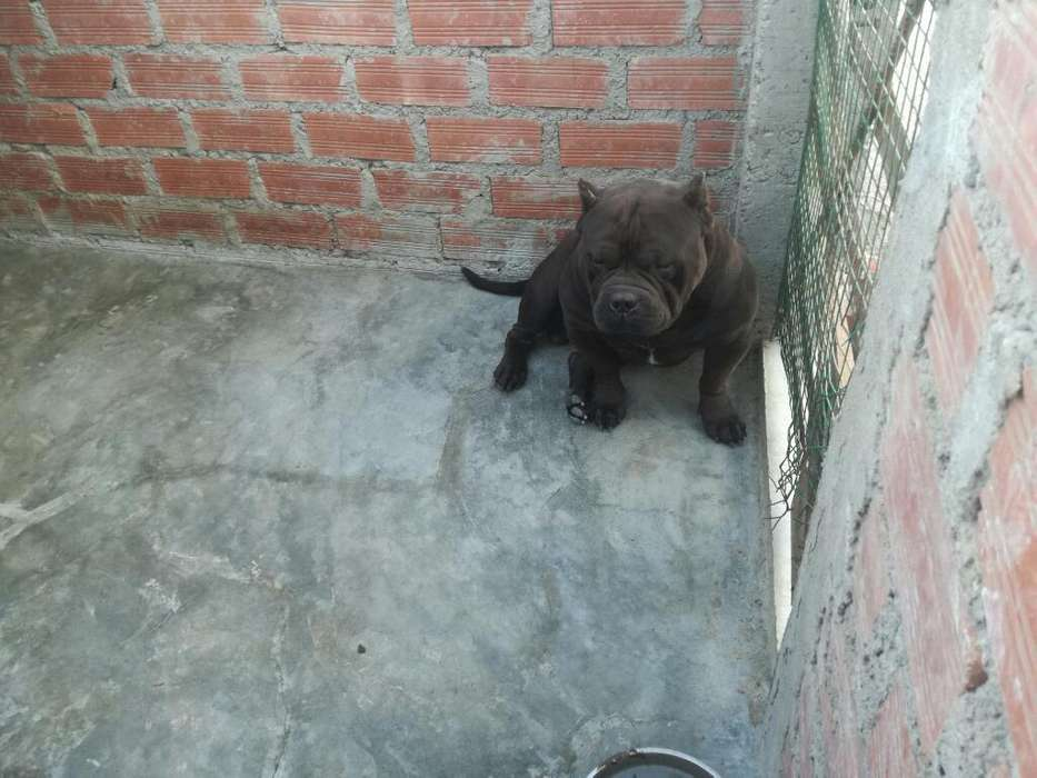 Disponibles Cachorros American Bully