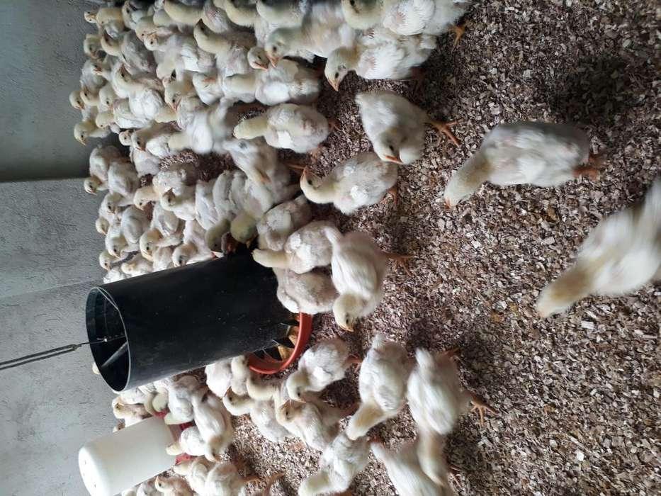 <strong>pollos</strong> bebe de carne