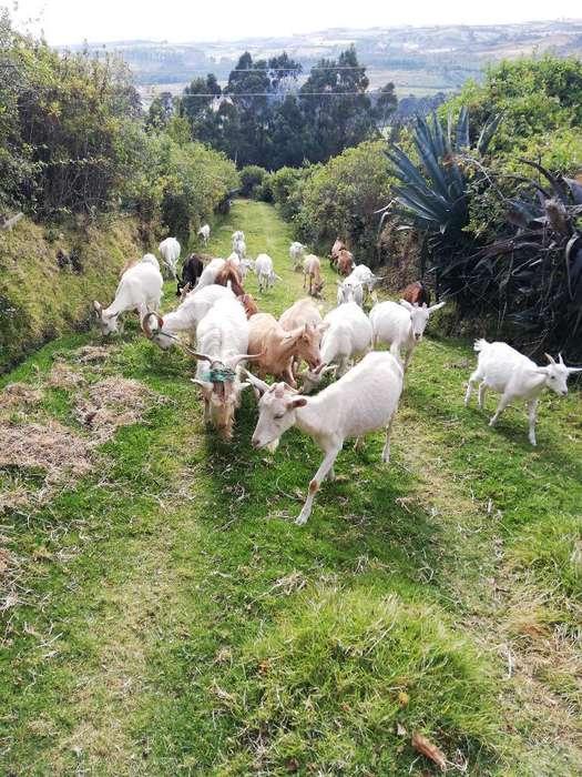 Lote de <strong>cabras</strong> Sannen