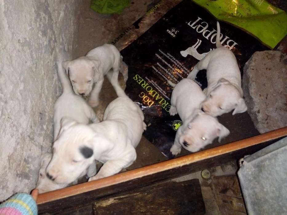 Vendo Dos Hembras Dogas Argentinos..puro