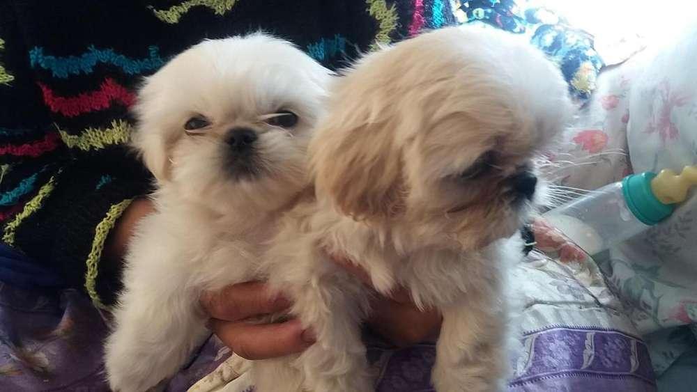 Cachorritos Shitzu blancos enanos super ñatos puros de raza