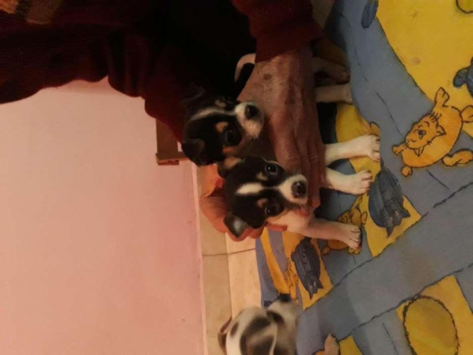 Cachorros Chihuahua Puros
