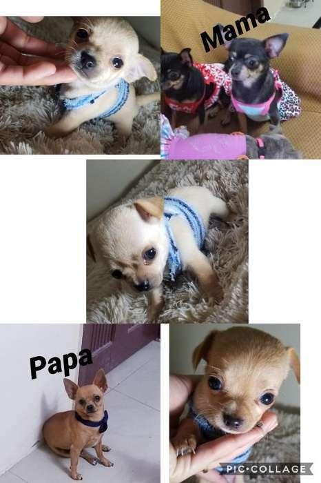 Cachorros Chihuahuas Solo Machos