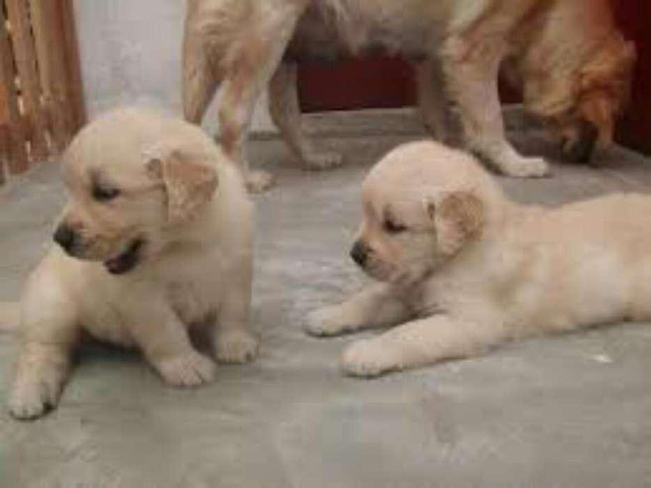 Cachorrros Golden Retrievers