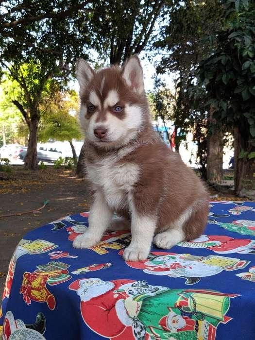 <strong>cachorro</strong>s Siberianos