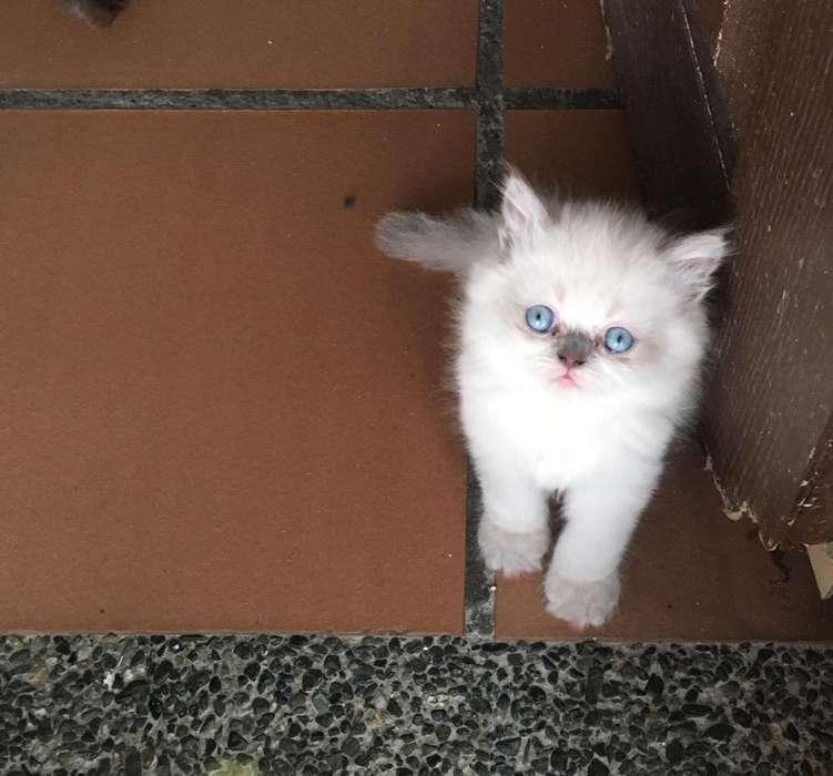 Venta de Gatos Persa-Himlayos