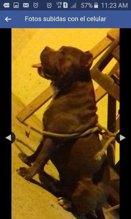 Vendo <strong>cachorro</strong> hijo de bully con pitbull