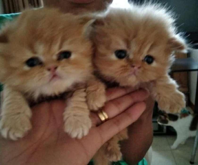 Gaticos Persas
