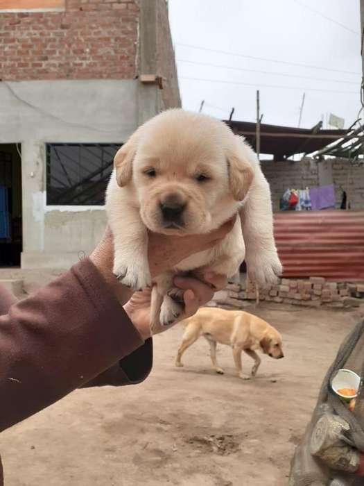 Labradores puros 917396053