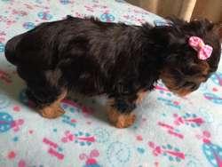 Hermosos Cachorros Yorkshire Terrier Pur