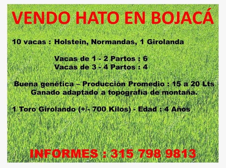 Vendo Hato de 10 <strong>vacas</strong> y 1 toro