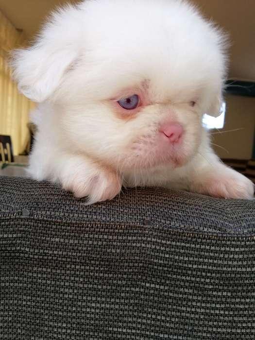 Venta de Pequinés Albino