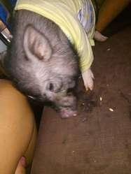 Hermoso Mini Pig Macho de Cuatro Meses