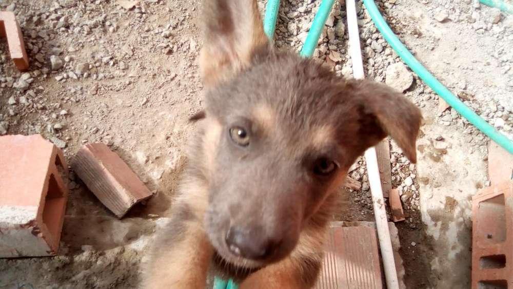 Cachorros Pastor Aleman Negociable