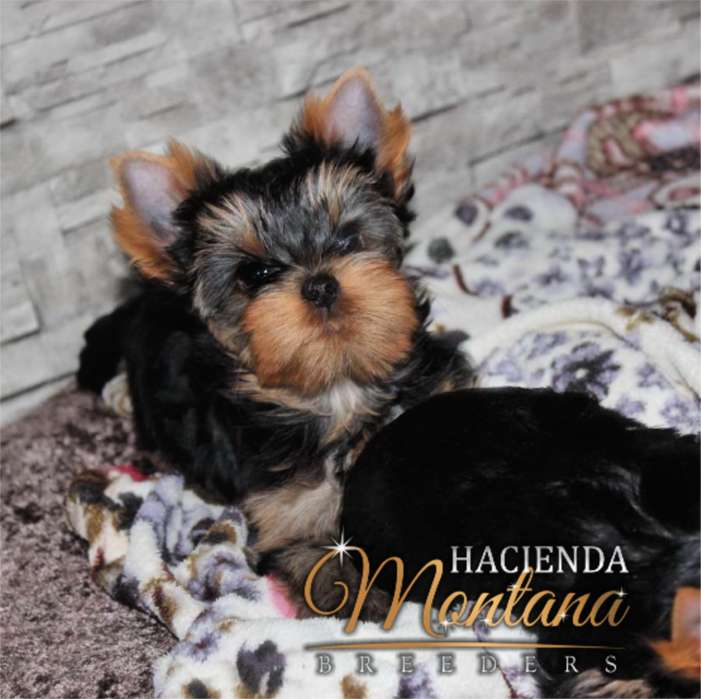<strong>cachorro</strong>S YORKSHIRE TERRIER EN TUNJA
