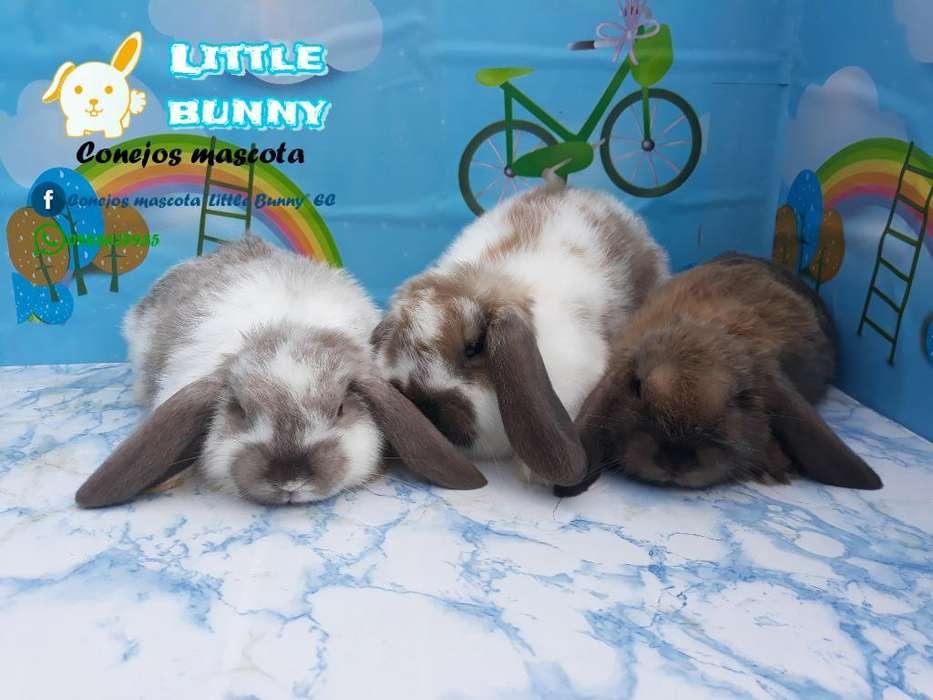 Conejitos Conejos Minilop