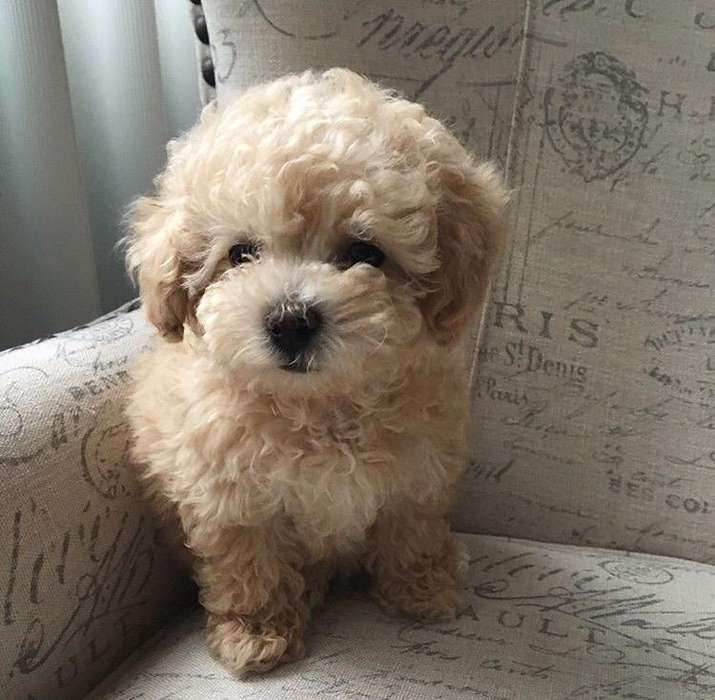 Ultimo Cachorro Poodle