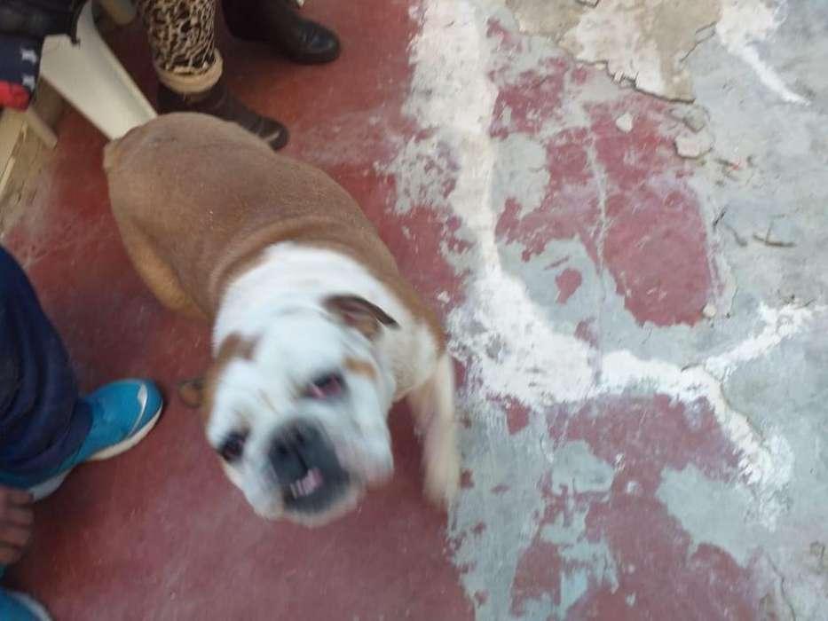 por espacio, vendo Bulldog Ingles, 8 meses