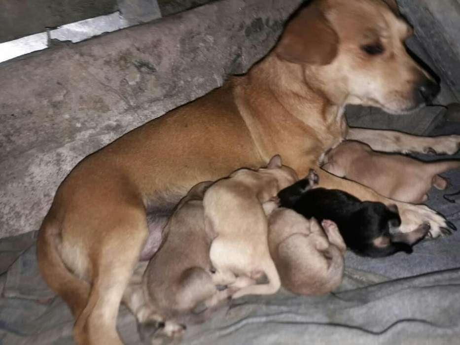 Vendo Cachorro Chiguagua 0967924819