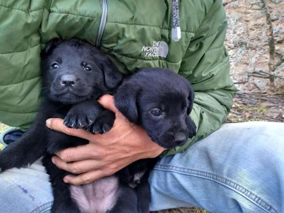 Cachorro(a)labradores