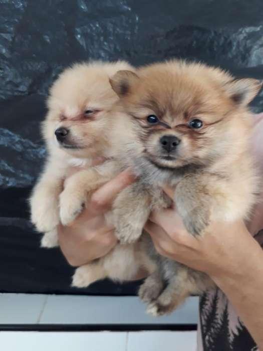 Hermosos Perritos Pomeranias Lulu Puros