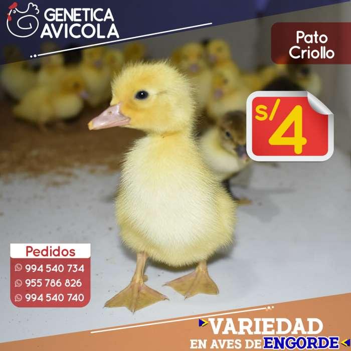 Pato BB Criollo