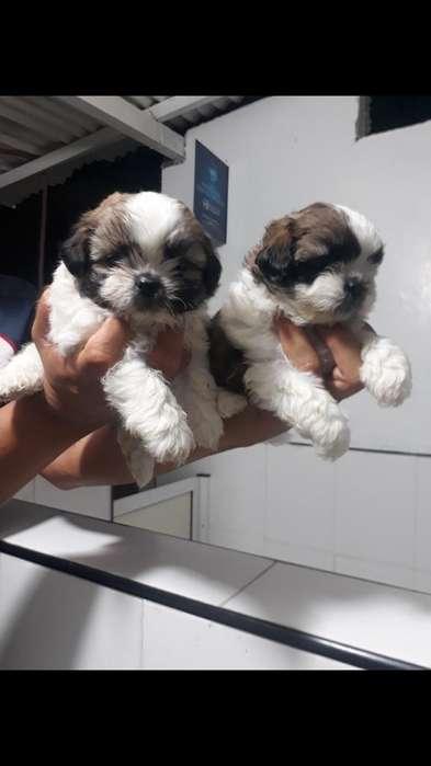 Hermosos Cachorritos Shih Tzu en Venta