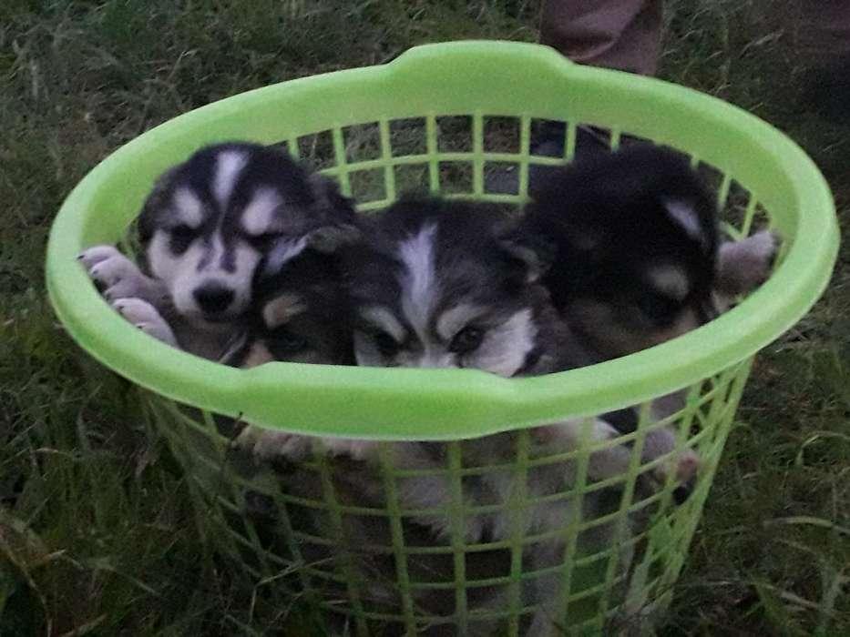 Lindos Cachorritos Huskis con Alaska