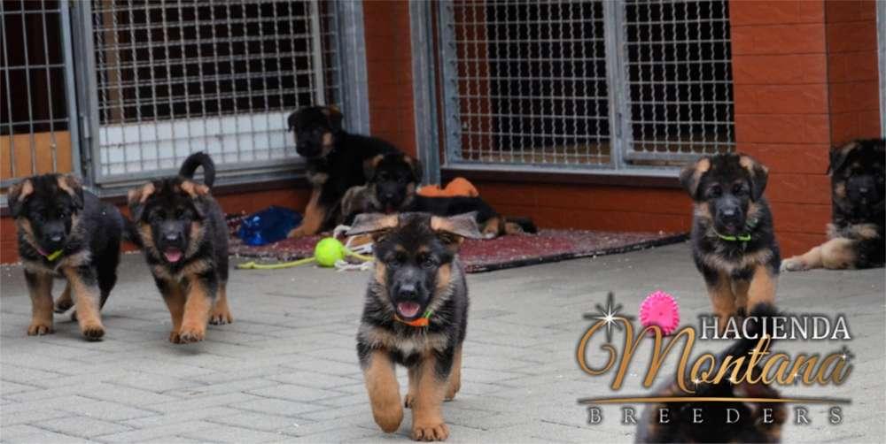 <strong>cachorro</strong>S PASTOR ALEMÁN EN ARMENIA