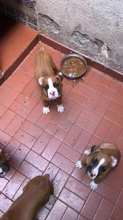 Lindos Cachorros <strong>boxer</strong>