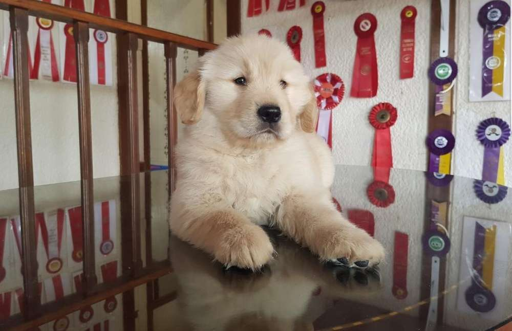 Golden Retriever Linea de Registro