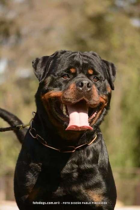 <strong>rottweiler</strong>s pura sangre inscriptos en FCApedigree