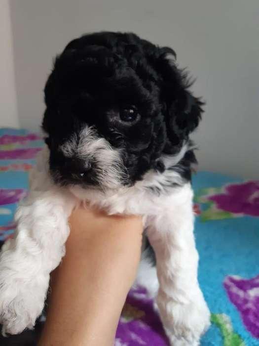 <strong>cachorro</strong> Mini Toy Vaquita Exotico Macho