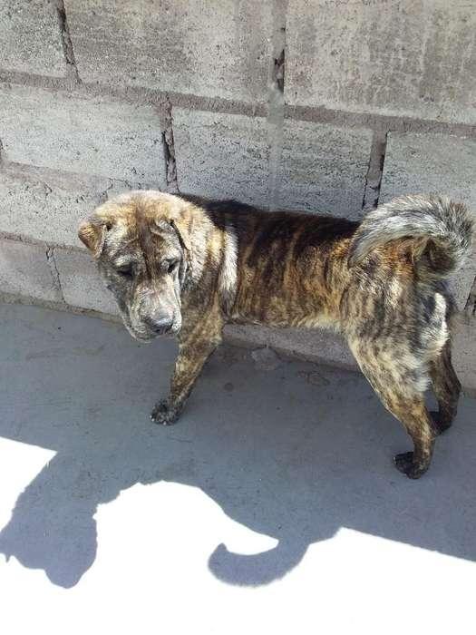Doy en Adopción Un Cachorro Raza Sharpie