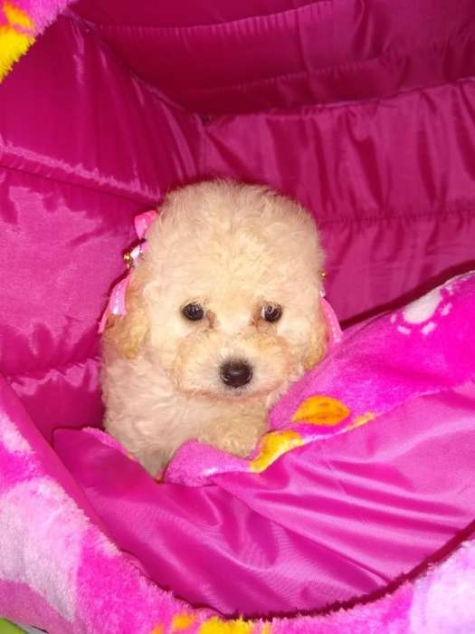 LINDO FRENCH POODLE