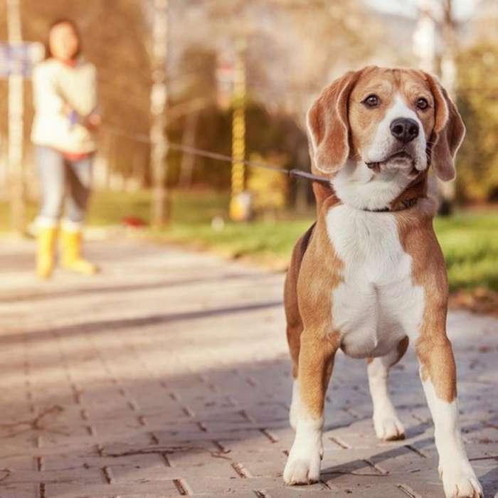 Servicio Beagle Macho con Fca