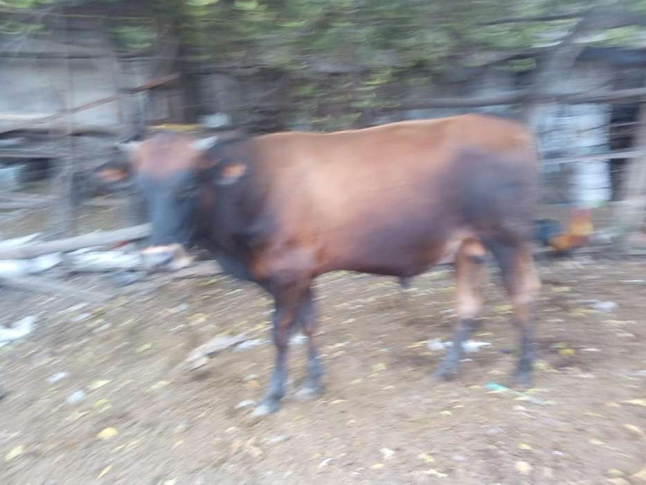 Venta de Vacas Lecheras Y Terneros (as)